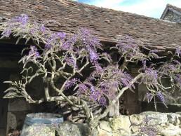 Blauwe regen uitlopend wisteria