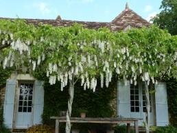 witbloeiende wisteria